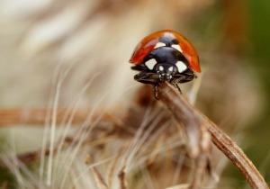 pixabay_ladybug-267845_1920